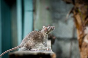 What Diseases Do Mice & Rodents Carry?